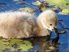 Black Swan Cygnet A Day Old (ZebraDreaming) Tags: blackswan cygnets waterbirds