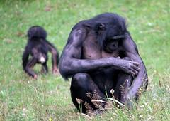 The Long Walk Home... [eXPLoReD] (Ger Bosma) Tags: baby walking young mother chimps bonobo bonobos pygmychimpanzee panpaniscus dwarfchimpanzee chimpanznain zwergschimpanse gracilechimpanzee chimpancpigmeo chimpanzpygme 2mg58995