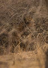TIG01772GB_1 (giles.breton) Tags: india tiger tigers endangered ranthambhore panthera threatened andyrouse ranthambhorenationalpark pantheratigristigris royalbengaltiger dickysingh