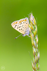 Bluling (Dirk Hoffmann Fotografie) Tags: macro green nature grass butterfly insect wildlife gras schmetterling bluling