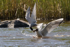 Thief! (Tuomo Nyknen (kuvafani)) Tags: bird gull tern blackheadedgull lintu commontern sternahirundo chroicocephalusridibundus finnishbirds suomenlinnut