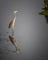 Young Great Blue Heron (Jodi Newell) Tags: reflection bird nature water canon outdoors bokeh wildlife marsh greatblueheron sanjoaquin jodinewell jodisjourneys jodisjourneysphotosgmailcom