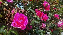 Rozenmuur (Omroep Zeeland) Tags: wandelen rozen muur hoek