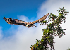 My Red-Tailed Hawk Arriving on Set for His Close-Up (michaelbbateman) Tags: park blue sky white bird pinetree pine clouds us newjersey unitedstates state hawk wildlife raptor redtailed puffy kinnelon salis condict