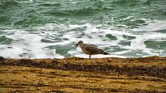 (EderAlaves) Tags: food bird beach sand waves playa arena hungry olas gaviota hdr intensity algas