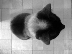 overcat (**) Tags: blackandwhite bw leather cat hair chat sopaulo pb bn gato gatto pretoebranco pelle cabelo biancoenero cabello capelli cuero cheveux cuir plo couro