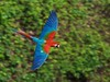 Red-and-green Macaw (Ara chloropterus) (PeterQQ2009) Tags: brazil birds macaw arara redandgreenmacaw arachloroptera arachloropterus