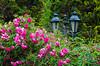 Roses & Roses... (JJLeite) Tags: brazil nature br flowersplants diamondclassphotographer flickrdiamond