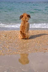 Basho (Waiting for Godot) (Gali-Dana) Tags: sea dog reflection beach mediterranean terrier seated  basho michmoret             galidana