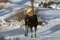 Shiras Moose (Alces alces shirasi) D7K_9540 (NDomer73) Tags: november moose tetons better grandtetonnationalpark 2011 shirasmoose 23november2011