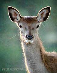My deer (PeterChad) Tags: wild animal power grace deer single stare deerpark elegance tatton tattonpark explored differentialfocus femaie singleanimal