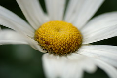 Marguerite (the yellowrider) Tags: france flower fleur marguerite tamron90mm nikond90