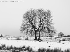 D E S O L A T E (Wan ~stuck in catch up loop) Tags: snow tree landscape scotland sheep desolate kippen stirlingshire 4x3 leaflesstrees scottishwinter nikond7000 thatwinterfeeling wmekwiphotography mekwicom