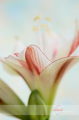 All the difference (dhmig) Tags: flowers red stilllife flower macro closeup petals dof bokeh stamens amarillis