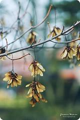 Colgantes (Yavanna Warman {off}) Tags: autumn plants naturaleza tree fall nature canon plantas branch dof bokeh details árbol hanging otoño tele 75300mm rama pendant pdc fallcollection colgante milde teleobjetivo yavanna 1000d yavannawarman