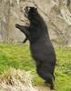 I'm coming mommy (ucumari photography) Tags: zoo oso dc washington national april bernardo spectacledbear 2011 andeanbear tremarctosornatus specanimal ucumariphotography dsc8383 osoandino eljuco