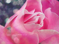 Soft Glow (YOU-cee) Tags: pink flower macro photography blossom bokeh magic phoebe youcee changcoco