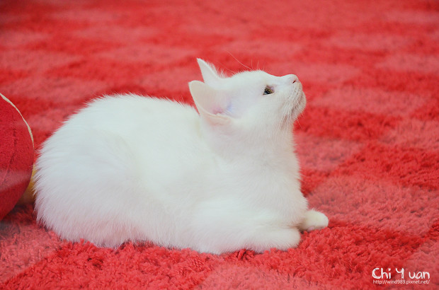 [Cat]台北。貓館。小小白貓三胞胎
