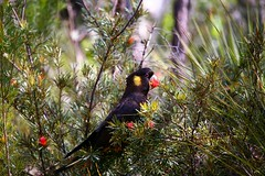 Yellow-tailed Black Cockatoo (Erland Howden) Tags: flower bird nature animal fauna bush earth australia bluemountains nsw cockatoo shrub leura blackcockatoo