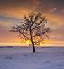 Last Christmas... (Stuart Stevenson) Tags: uk longexposure trees light rural photography scotland countryside intense branches wideangle calm colourful snowfall wintersunrise lonetree surise lanark afterthesnowstorm clydevalley canon1740 southlanarkshire thanksforviewing transientlight canon5dmkii stuartstevenson ©stuartstevenson