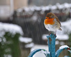 Christmas Robin (wilkie,j ( says NO to badger cull :() Tags: christmas winter snow nature robin birds nikon december wildlife lakedistrict card cumbria nationalparks nationaltrust keswick britishrobin