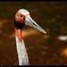 Sarus Crane [Explored 26-12-2011 #162]