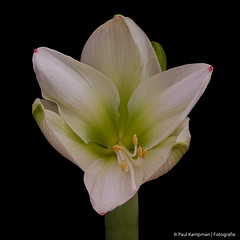 White Amaryllis (paul.kampman) Tags: christmas white plant black flower holland macro green texture beauty yellow closeup composition canon square stem groen stamen amaryllis wit bloem knop amaryllidaceae vierkant bloeiend fantasticflower awesomeblossoms 5dmkii mygearandme mygearandmepremium