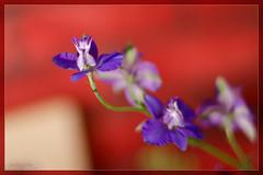 Violet (Chụp vội với Nikon D7000 + 50mm f1.4 AIS)