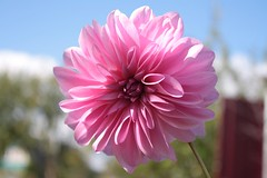 Affable pink. (halina.reshetova) Tags: flowers pink nature plants hennysgardens