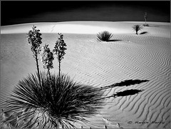 White Sands National Monument (Kevin B Photo) Tags: park flowers trees light wild sky blackandwhite bw usa plant flower tree film nature beautiful beauty horizontal america landscape outdoors sand day fuji exterior unitedstates graphic natural state native sandy scenic large dramatic dry calm 4x5 daytime largeformat serenitynow kevinbarry wowiekazowie toyoaii whitesansnationalmonument