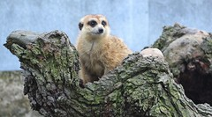 Hamerton Zoo Park (Sunchild57 Photography. Taking a break.) Tags: meerkat hamertonzoopark