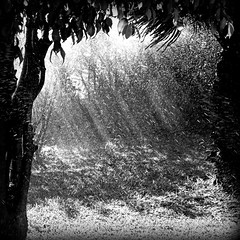 'when youre lost in the rain' (1:1) (David Willis.) Tags: trees light blackandwhite sunlight water leaves rain silhouette square 11 sprinkler squareformat rays davidwillis canong10