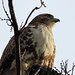 Red-tailed Hawk Closeup