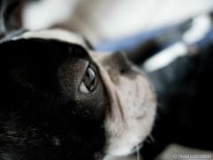Eye of the Boston Terrier 02.01.2012
