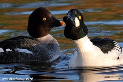 "Goldeneye Ducks - ""Kiss me quick!"" (AMKs_Photos) Tags: bird me nature birds animal canon river photography eos scotland duck kiss wildlife aberdeen 7d dee quick goldeneye amk bucephala clangula kissmequick specanimal birdperfect amksphotos"