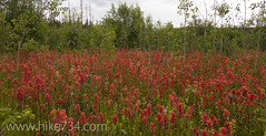 "Indian Paintbrush • <a style=""font-size:0.8em;"" href=""http://www.flickr.com/photos/63501323@N07/6638669035/"" target=""_blank"">View on Flickr</a>"