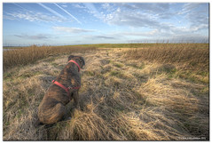 It's A Big World Out There (roddersdad) Tags: dog countryside boxerdog blueskies contrails roderick rodders 2011 petdogs canon1dsmkll wwwimagesbyclivecouk copyrightclivejmaclennan canonef1740mmf4lusmlenscopyrightclivejmaclennan