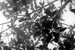 Transparency (Heaven`s Gate (John)) Tags: trees white black nature leaves silhouette fog forest botanical pattern corcovado national transparency tijuca riodejanerio blackwhitephotos johndalkin heavensgatejohn