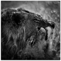 Moment of affection (Ania.Photography-busy) Tags: africa travel bw cats white black nature monochrome animals closeup canon square nationalpark couple affection wildlife pair lion 7d lions lioness lew kruger predators lwica