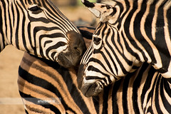 Zebras (arturii!) Tags: barcelona wild portrait horse white black love nature beauty lines animal fauna wow zoo amazing nice interesting kiss europa europe faces superb awesome great natura zebra stunning parc impressive barcelone gettyimages ciutadella mediterranian canoneos400d arturii arturdebat