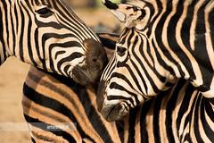 Zebras (¡arturii!) Tags: barcelona wild portrait horse white black love nature beauty lines animal fauna wow zoo amazing nice interesting kiss europa europe faces superb awesome great natura zebra stunning parc impressive barcelone gettyimages ciutadella mediterranian canoneos400d arturii arturdebat