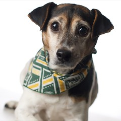 15/365 Game face (zoosee) Tags: portrait dog packers highkey greenbaypackers canon50mmf14usm strobist brazillianterrier
