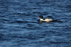 Merganser D7K_3919 (Mully410 * Images) Tags: river duck ducks mississippiriver fowl waterfowl commonmerganser merganser afsnikkor500mmf4gvr