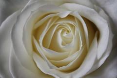My 5000th pic on flickr for my flickr friends (X'ian) Tags: flowers fleurs blumen bloemen