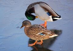 Couple (Mrs S.A) Tags: winter ice nature birds river frozen duck suffolk burystedmunds gamewinner nikond40 15challengeswinner