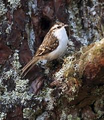 Treecreeper perched on branch (Margaret J Walker) Tags: winter bird nature scotland wildlife lichen treecreeper cairngormsnationalpark specanimal nikond300s