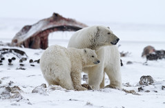 """Eisbären, Arctic National Wildlife Refuge, Alaska (8) • <a style=""""font-size:0.8em;"""" href=""""http://www.flickr.com/photos/73418017@N07/6730319683/"""" target=""""_blank"""">View on Flickr</a>"""