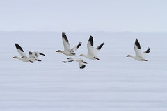 "Schneegänse, Baffin Bay, Kanada • <a style=""font-size:0.8em;"" href=""http://www.flickr.com/photos/73418017@N07/6730329277/"" target=""_blank"">View on Flickr</a>"