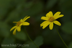 "Mountain Arnica • <a style=""font-size:0.8em;"" href=""http://www.flickr.com/photos/63501323@N07/6746644607/"" target=""_blank"">View on Flickr</a>"