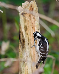 1-22-12 Where did I put that seed (janeswalden) Tags: bird nature gardens wildlife seeds mead